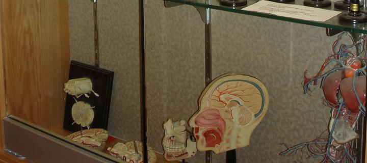 display case with model of nervous system
